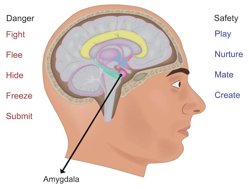 Amygdala - Why is Your Spouse not Listening to you